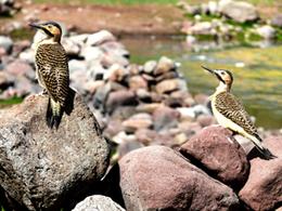 Observación de aves en Laguna Umayo